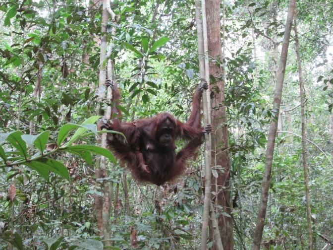 Java and Borneo