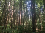 The Redwoods in Redwoods National Park in Rotorua