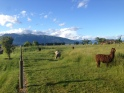 Llamas next to our backpackers in Te Anau